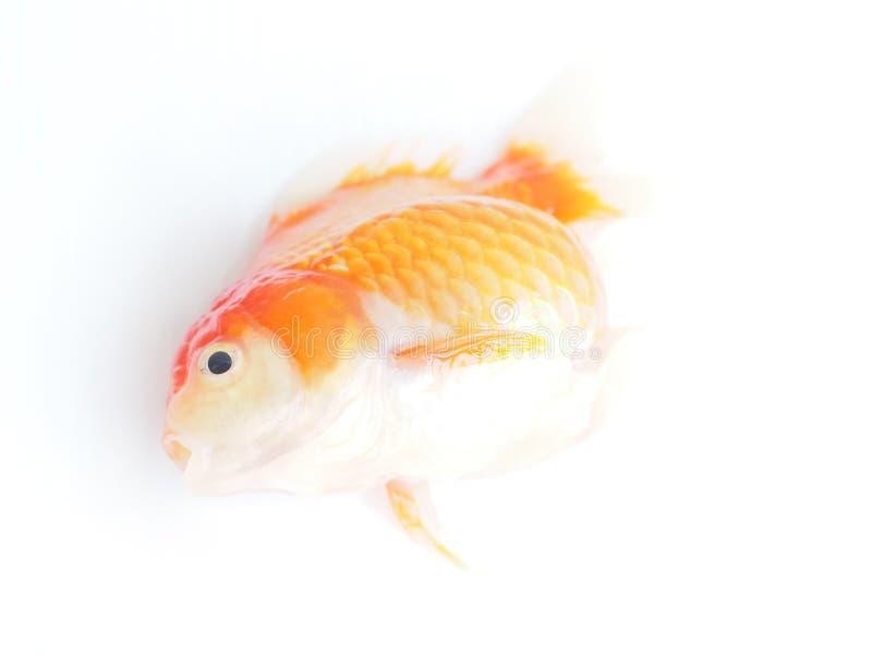 Pesce rosso morto su fondo bianco, vista superiore fotografia stock libera da diritti