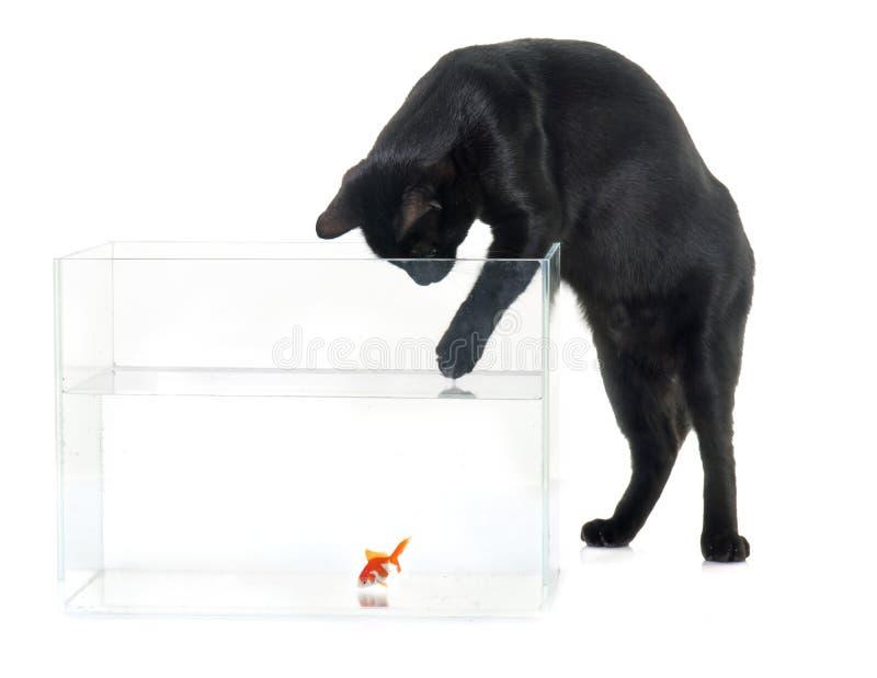 Pesce rosso rosso e gatto nero immagine stock