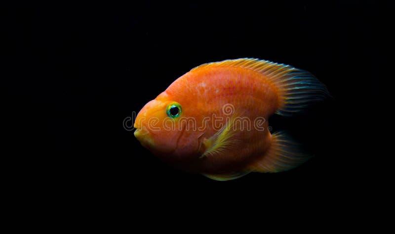 Pesce rosso sangue dei pappagalli di amore fotografia stock libera da diritti
