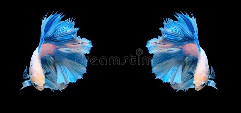 Pesce siamese bianco e blu di combattimento, pesce di betta isolato sul bla fotografia stock libera da diritti
