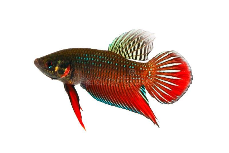 Pesce siamese di combattimento (tipo selvaggio) immagini stock