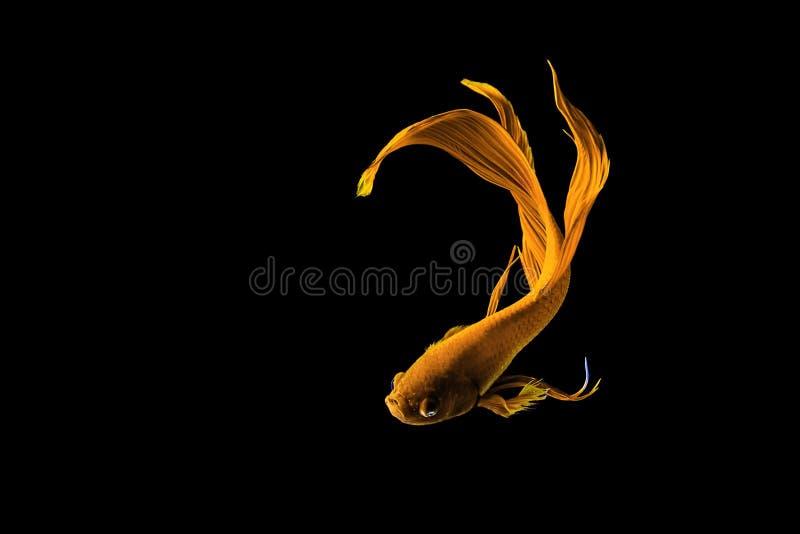 Pesce siamese dorato di combattimento (betta splendens) isolato sul nero fotografia stock libera da diritti