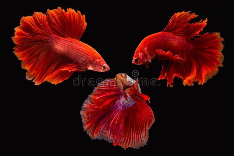 Pesce siamese o betta splendens di combattimento immagine stock