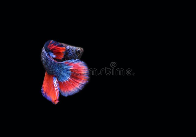 Pesce siamese originale di combattimento su fondo nero fotografie stock libere da diritti