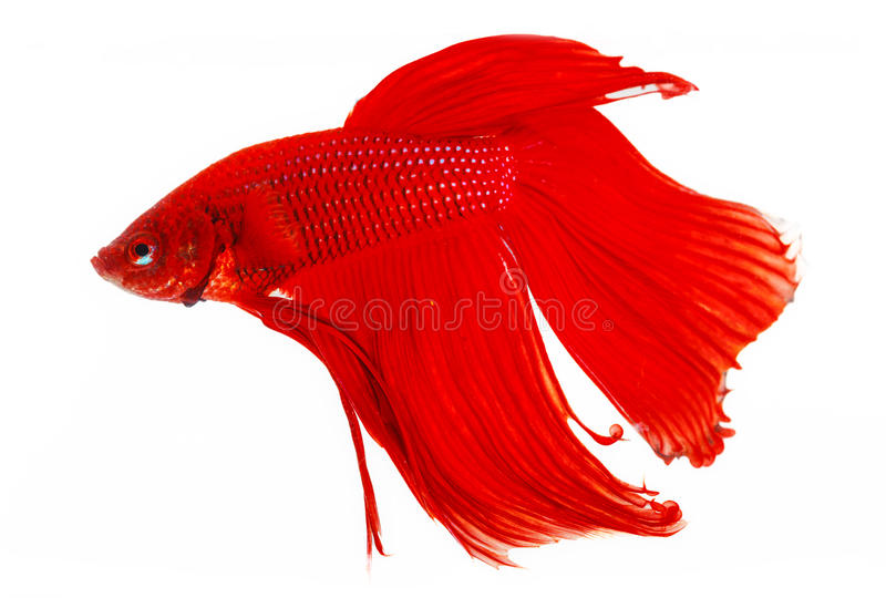 Pesce siamese rosso di combattimento fotografia stock