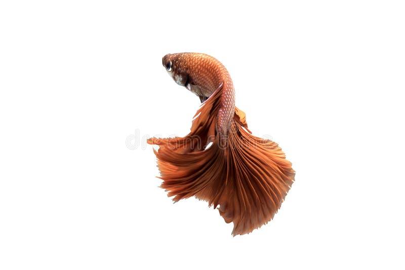 Pesce siamese rosso di combattimento su fondo isolato fotografia stock