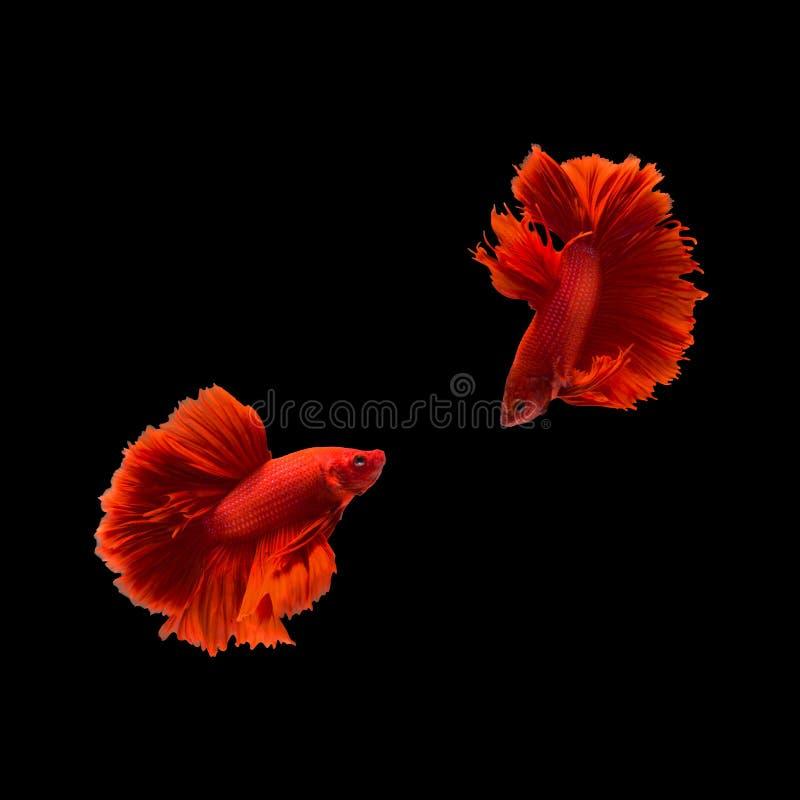 Pesce siamese su fondo nero, pesce di combattimento di betta immagini stock libere da diritti