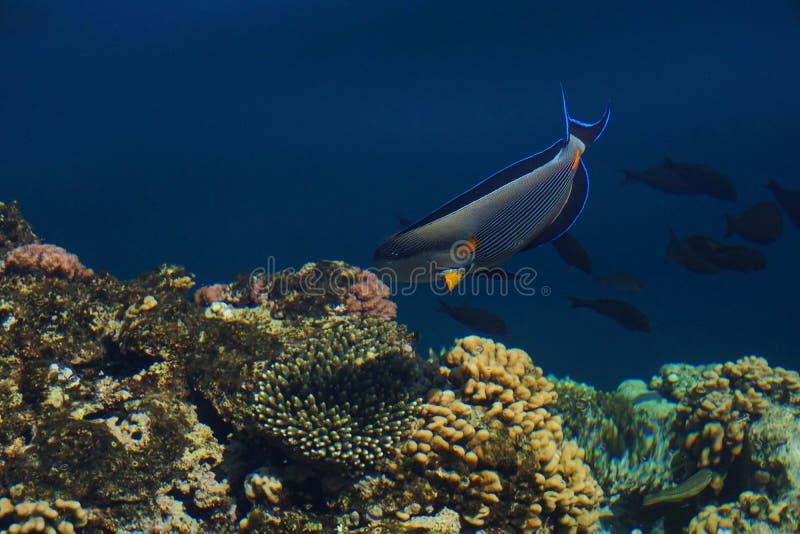 Pesce sohal arabo nell'ambiente naturale, Mar Rosso del chirurgo immagini stock