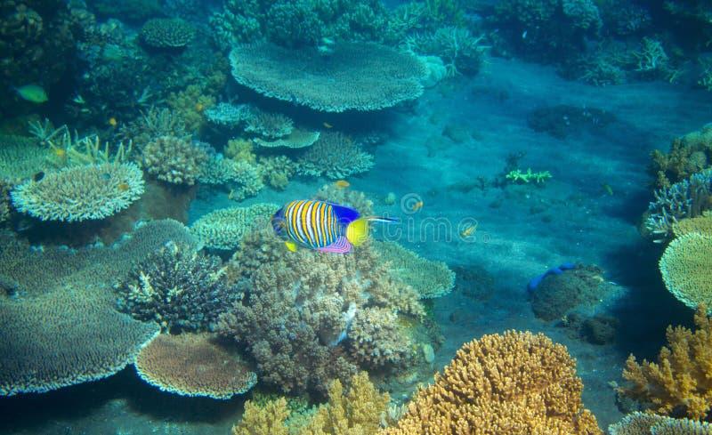 Pesce a strisce di angelo in barriera corallina Foto subacquea degli abitanti tropicali della spiaggia fotografie stock
