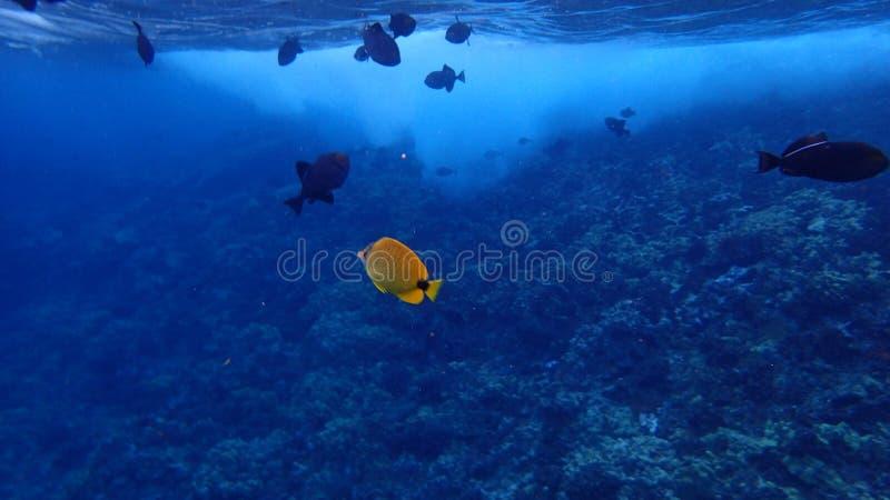 Pesce subacqueo in acqua tropicale fotografia stock