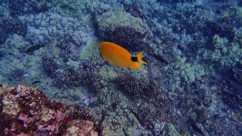 Pesce subacqueo in acqua tropicale immagine stock libera da diritti