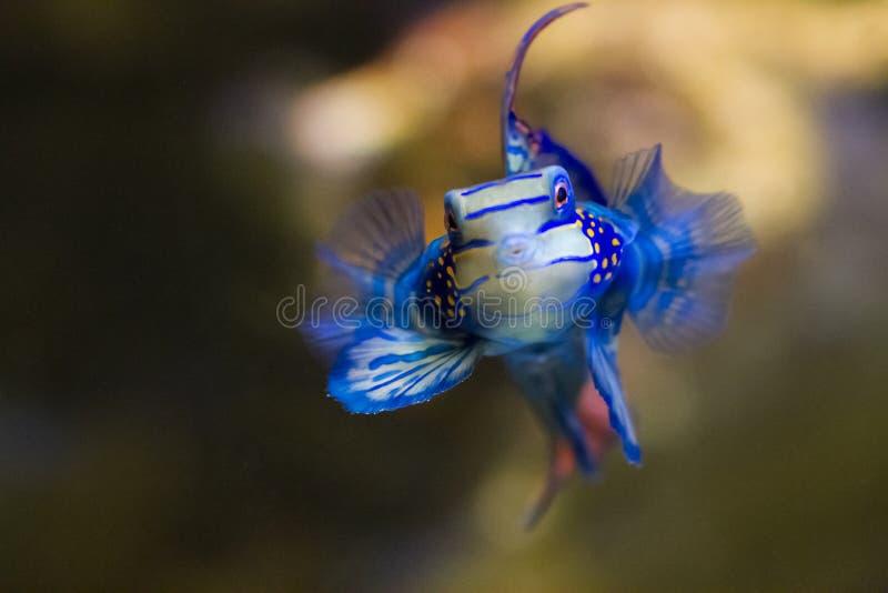 Pesce tropicale blu immagini stock libere da diritti