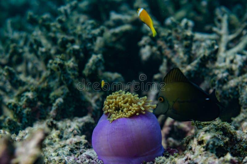 Pesce tropicale che cerca vicino ai bei coralli nell'Oceano Indiano alle Maldive fotografia stock libera da diritti