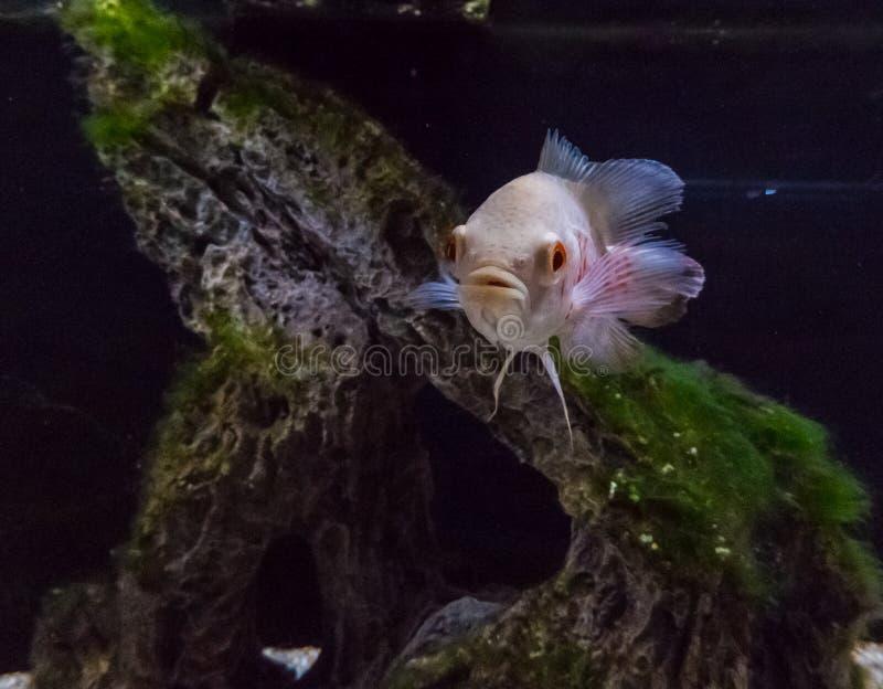 Pesce tropicale del Cichlidae immagini stock libere da diritti