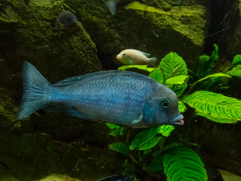 Pesce tropicale del Cichlidae fotografia stock libera da diritti
