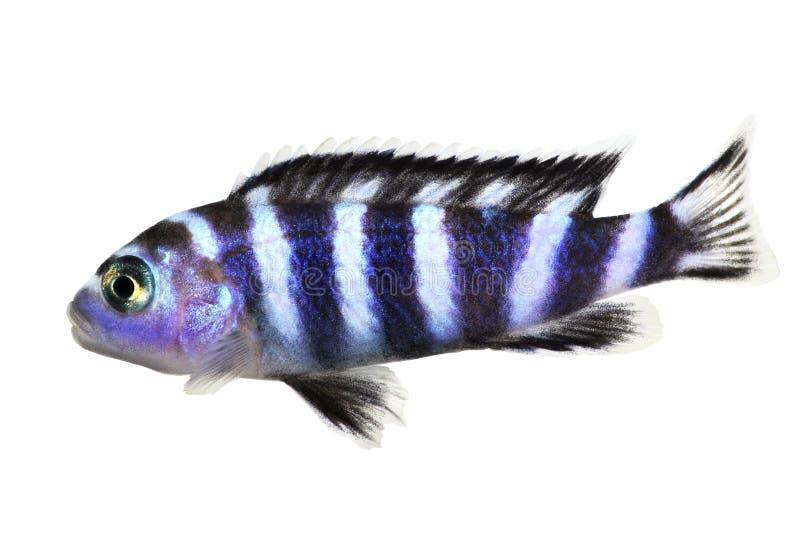 Pesce tropicale dell'acquario di demasoni di Pseudotropheus delle cichlidae del Malawi isolato immagini stock libere da diritti