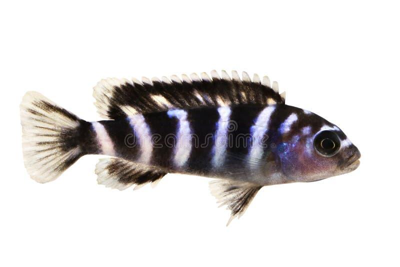 Pesce tropicale dell'acquario di demasoni di Pseudotropheus delle cichlidae del Malawi isolato fotografie stock