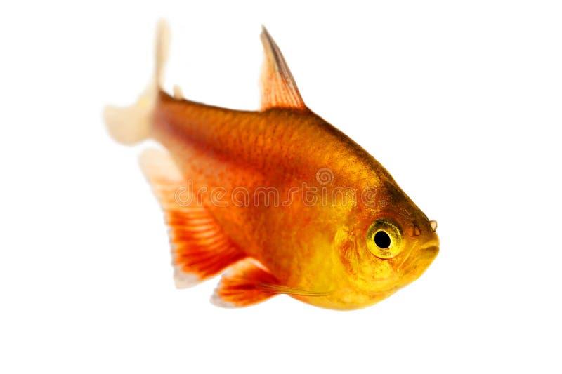 Pesce tropicale dell'acquario di Rio di tetra flammeus di Hyphessobrycon della fiamma di rosso arancio tetra fotografia stock libera da diritti