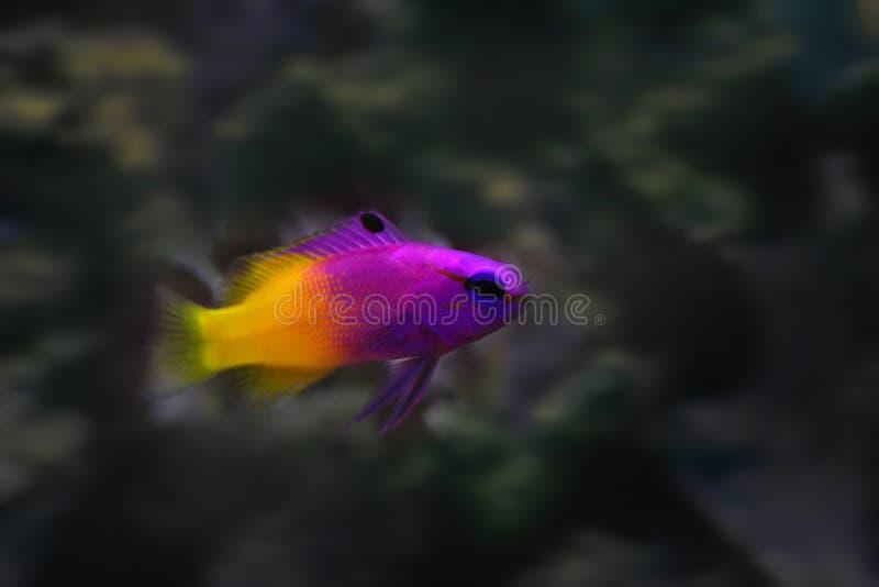 Pesce tropicale di gramma reale fotografia stock
