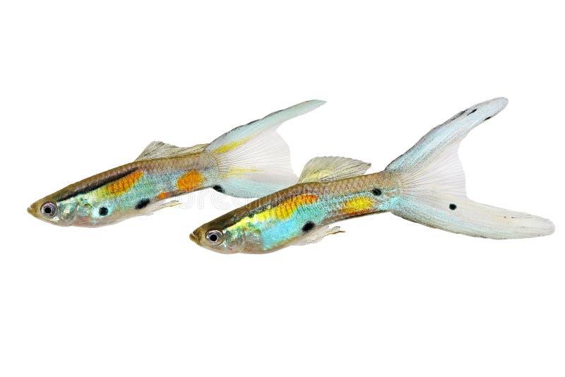 Pesce tropicale variopinto dell'acquario di Endler del Guppy del doppio di Swordtail dei Guppies di wingei maschio al neon di Poe fotografia stock libera da diritti