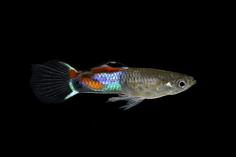 Pesce tropicale variopinto minuscolo dell'acquario di wingei di Poecilia del Guppy di Endler immagini stock libere da diritti