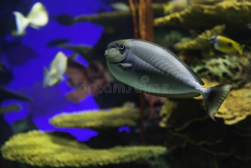 Pesce variopinto - carro armato tropicale della scogliera all'acquario di Toronto fotografie stock libere da diritti
