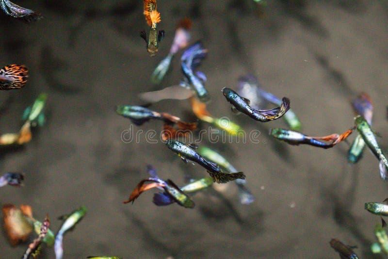 Pesce variopinto del Guppy in acquario, milioni delle Barbados, milione pesci Poecilia reticulata di poecilia reticulata immagini stock libere da diritti