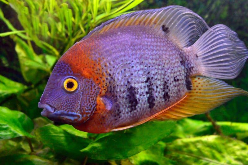 Pesce variopinto dell'acquario fotografia stock
