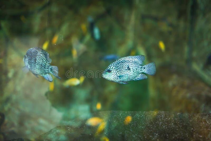 Pesce variopinto divertente di disco di Symphysodon in un acquario su un fondo verde fotografia stock libera da diritti