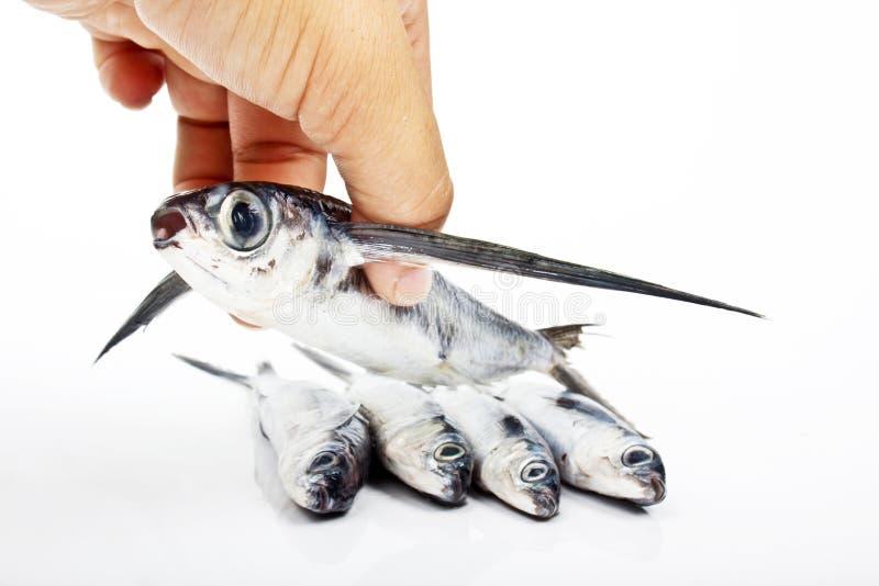 Pesce volante fotografia stock libera da diritti