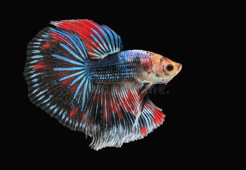 Peschi il combattimento, il bello pesce, pesce variopinto che combatte il Siam, la coda variopinta, l'azione prominente, buona po fotografie stock libere da diritti