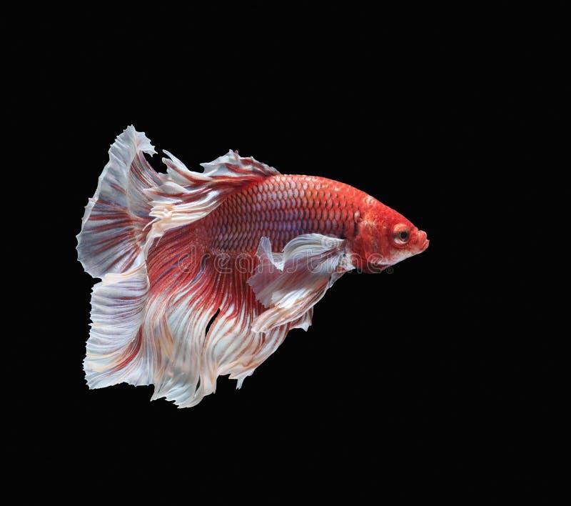 Peschi il combattimento, il bello pesce, pesce variopinto che combatte il Siam, la coda variopinta, l'azione prominente, buona po immagini stock libere da diritti