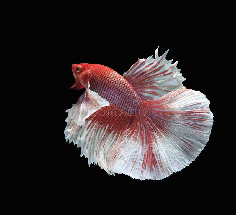 Peschi il combattimento, il bello pesce, pesce variopinto che combatte il Siam, la coda variopinta, l'azione prominente, buona po fotografia stock