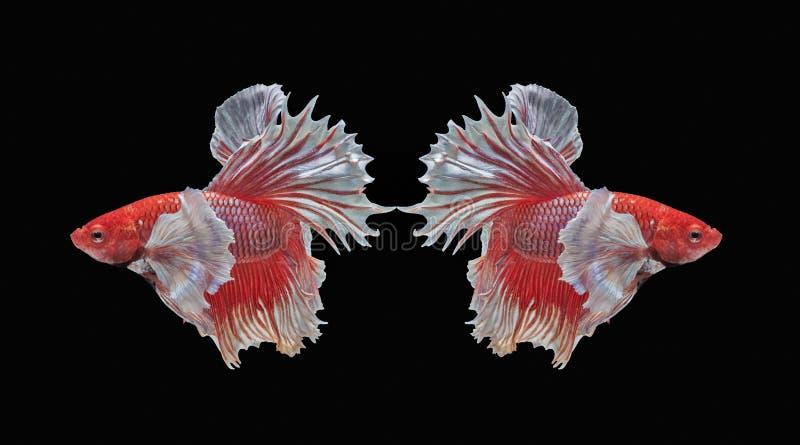Peschi il combattimento, il bello pesce, pesce variopinto che combatte il Siam, la coda variopinta, l'azione prominente, buona po fotografie stock