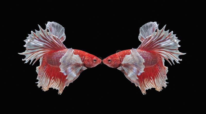 Peschi il combattimento, il bello pesce, pesce variopinto che combatte il Siam, la coda variopinta, l'azione prominente, buona po fotografia stock libera da diritti