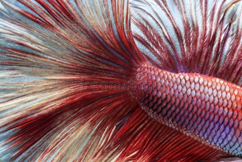 Peschi il combattimento, il bello pesce, pesce variopinto che combatte il Siam, la coda variopinta, l'azione prominente, buona po immagini stock