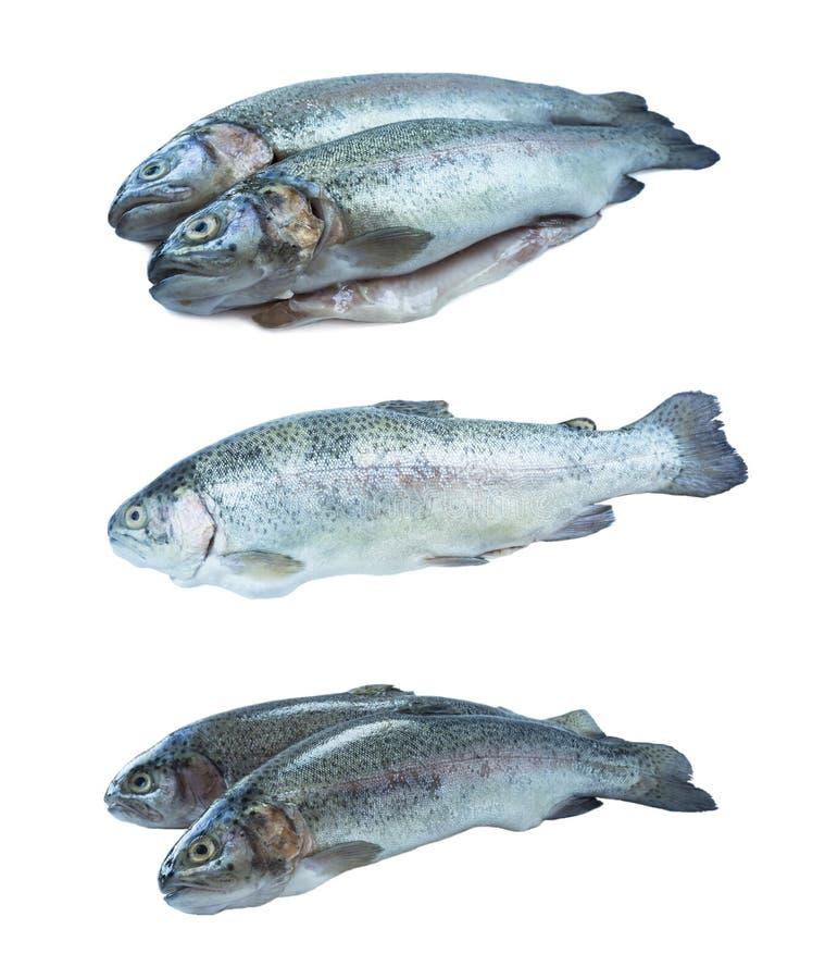 Peschi la trota iridea, isolata su un fondo bianco Due trote sopra fondo bianco Pesce con lo spazio della copia per testo fotografie stock