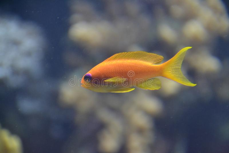 Peschi nel giallo del mare, pesce arancio fotografie stock