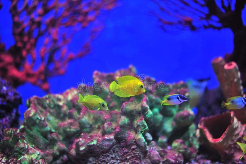 Pesci in acquario. fotografia stock