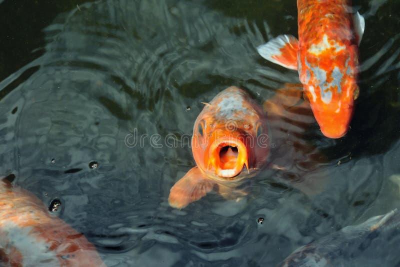 Pesci affamati immagini stock