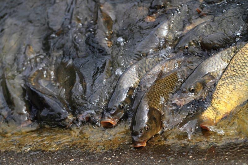 Pesci affamati della carpa immagini stock