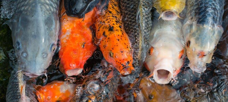 Pesci affamati di koi fotografia stock