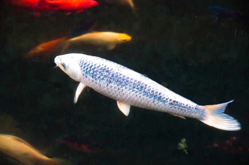 Pesci affamati di Koi nello stagno del giardino immagine stock libera da diritti