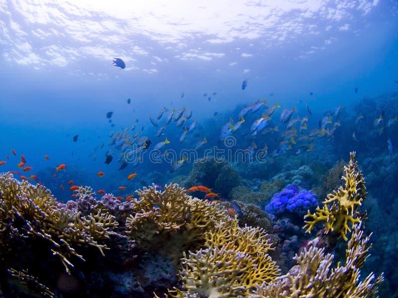 Pesci alla barriera corallina subacquea fotografie stock libere da diritti