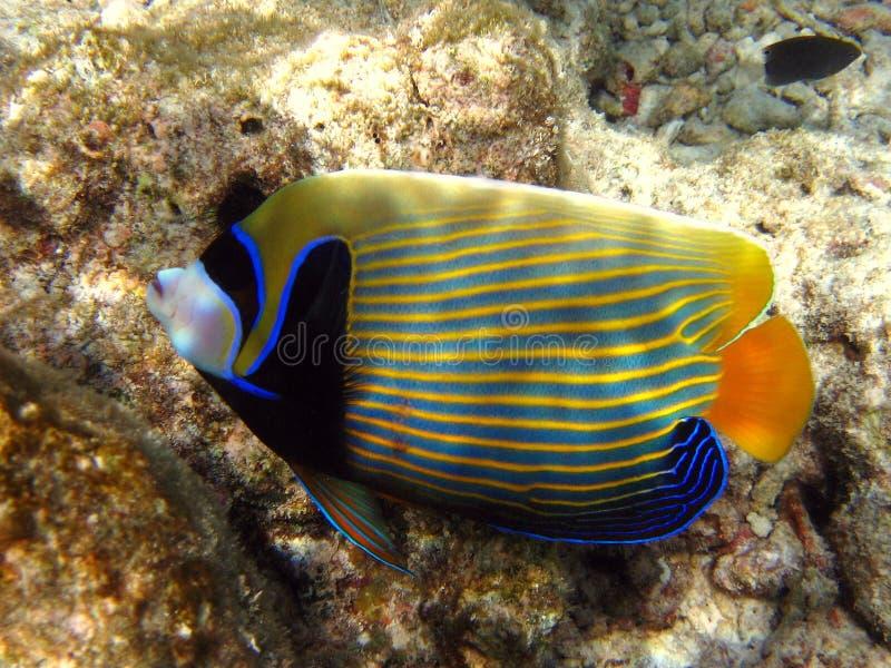Pesci: Angelfish dell'imperatore immagine stock