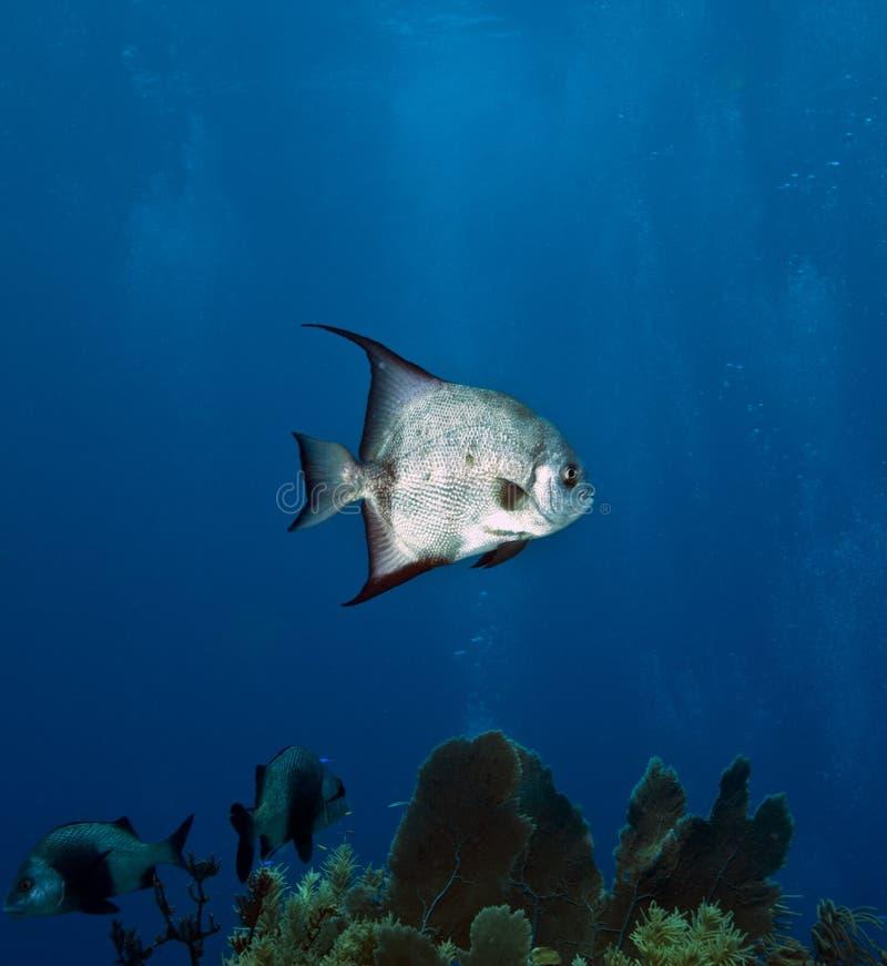 Pesci angelo atlantici sulla barriera corallina immagine stock
