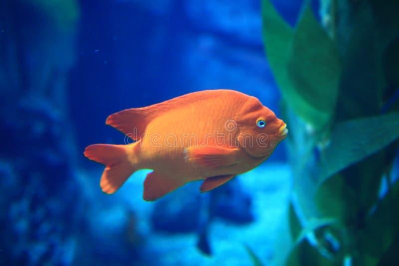 Pesci arancioni in acqua blu fotografia stock