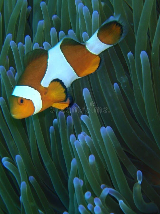 Pesci arancioni del pagliaccio fotografia stock