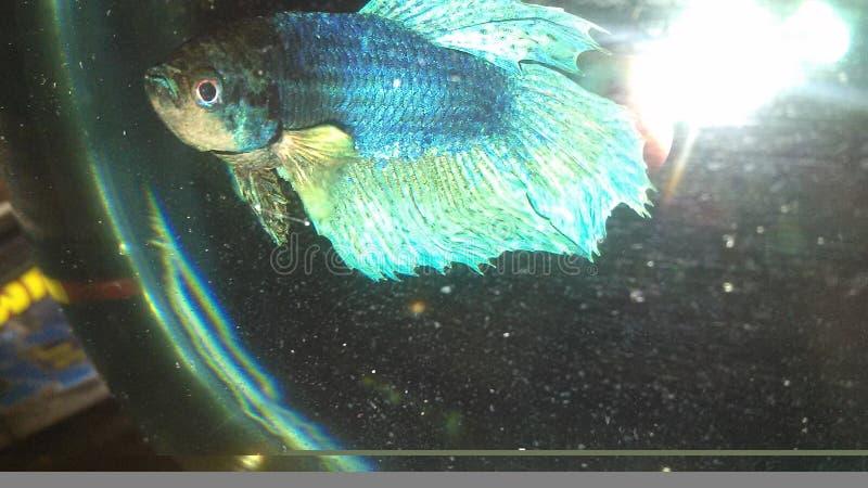 Pesci blu immagine stock