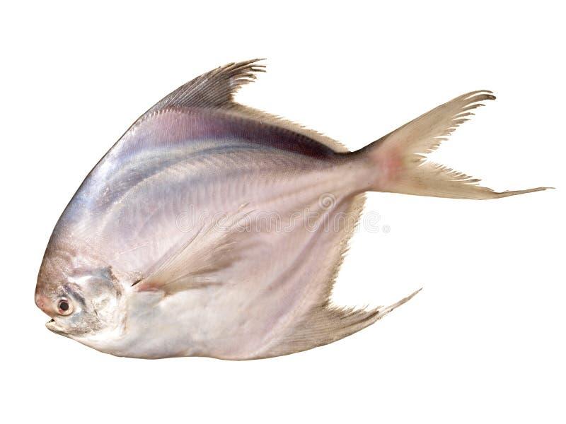 Pesci castagna d'argento su bianco fotografia stock libera da diritti